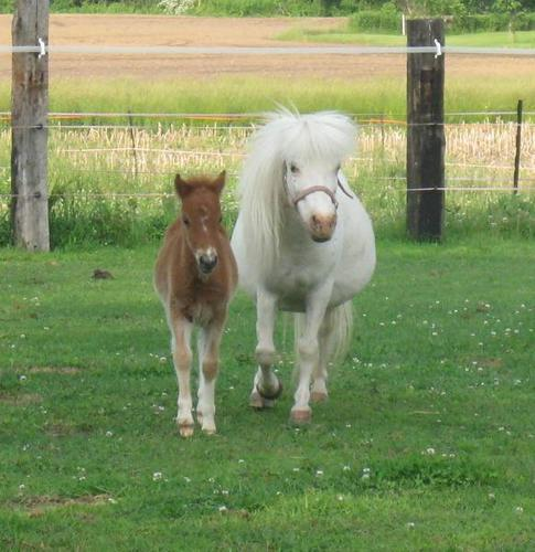 Reg. Mini Mare IN FOAL / Reg. Mini Stallion SOLD!!