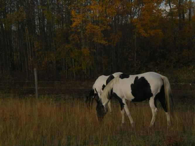 Registered Paint Mare in Foal to double Homozygous Stallion