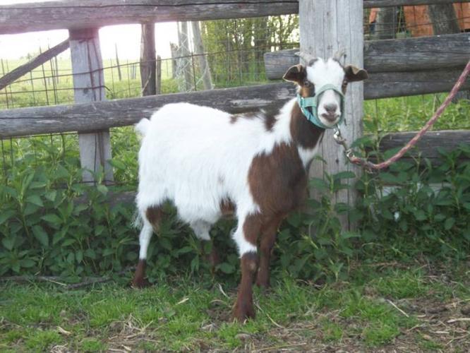 Registered Starter Herd of Fainting Goats