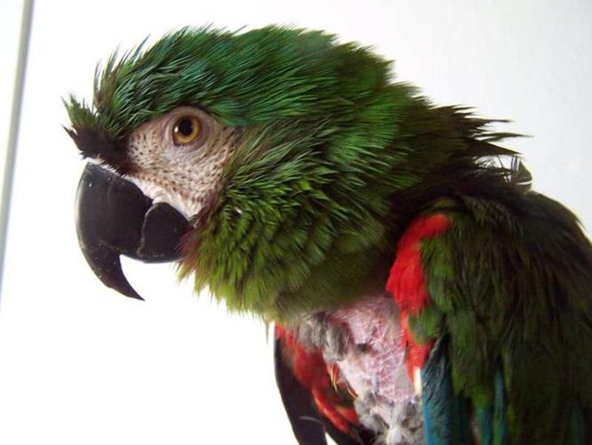 Rescued Severe Macaw needs a new home