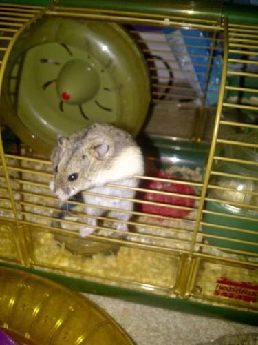 Rhino the hamster!
