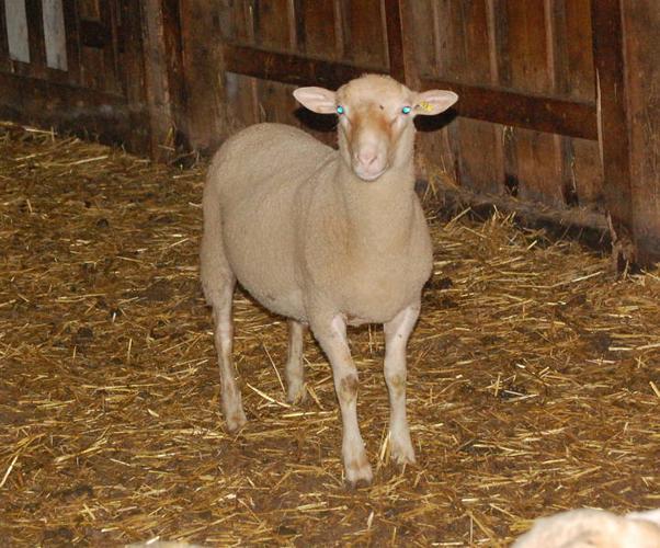 Rideau Arcott Ram Lambs