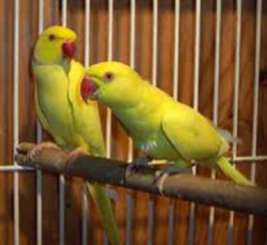Ring neck parakeets
