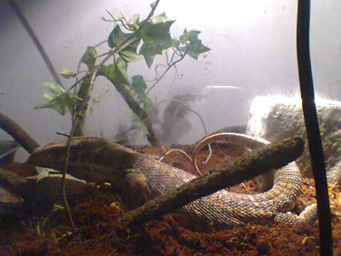 savannah Monitor with 5ft tank and stand
