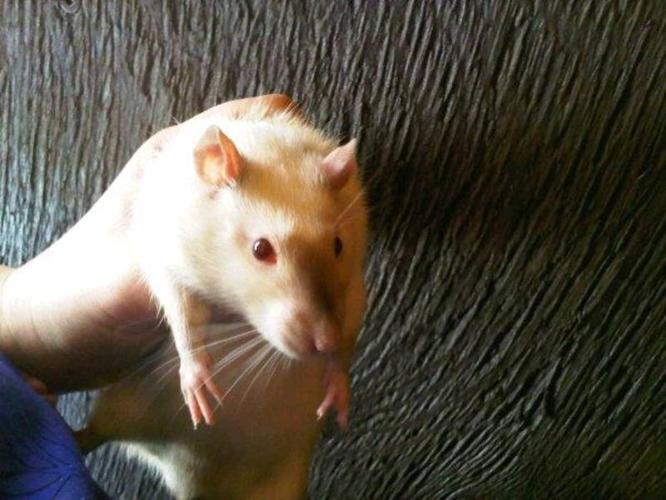 Siamese Rat - Male