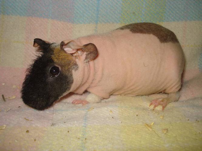 Skinny Pig Sows