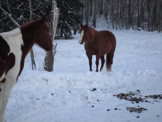 Sorrel Registered Quarter Horse