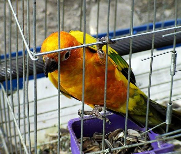 sun conure for sale Dna/Banded