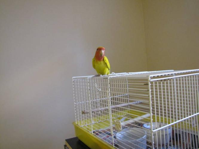 Supar Tame LOVE BIRD For sale