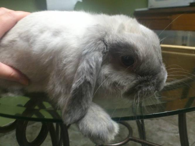 Super cute 5 month old holland lop bunny + cage