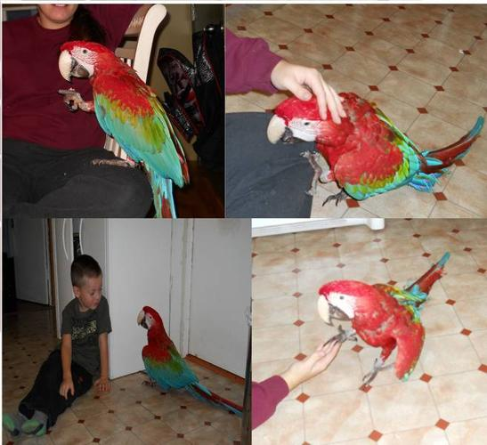 Super Friendly Very Young Green Wing Macaw