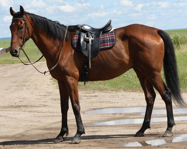 Thoroughbred for Sale-