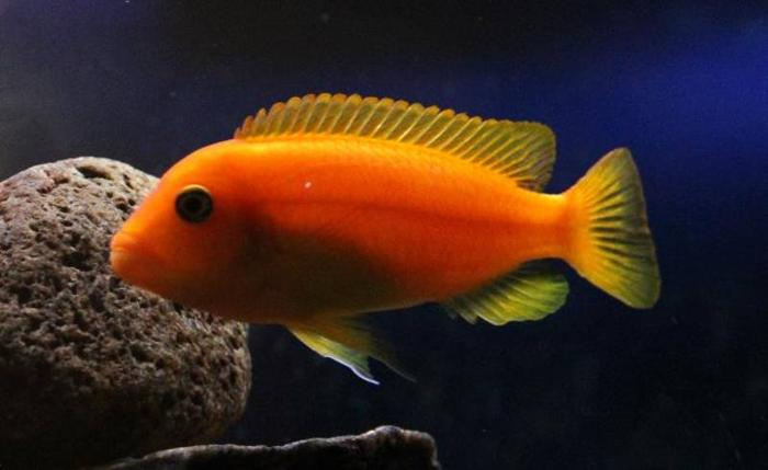 Three African Cichlids for sale for sale in Markham, Ontario - Local ...