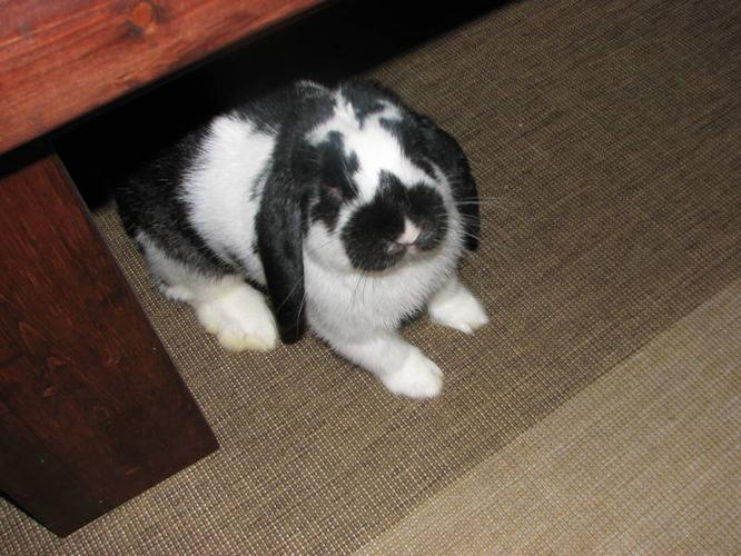 trained,amazingly sweet, cute lop-eared bunny needs a home