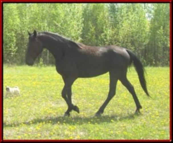 TWH homozygous Registered TWHBEA mare