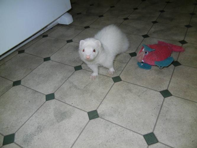 Two female ferrets to APPROVED HOME ONLY