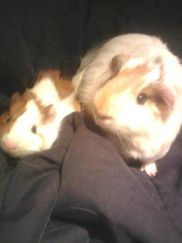 Two Guinea pigs for sale!