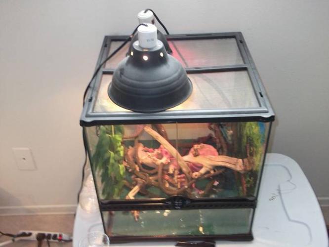 Veiled Chameleon w/cage