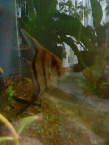 want to trade my Angel fish to your aquarium plants