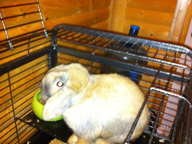 Wanted: 1 year old lop eared rabbit