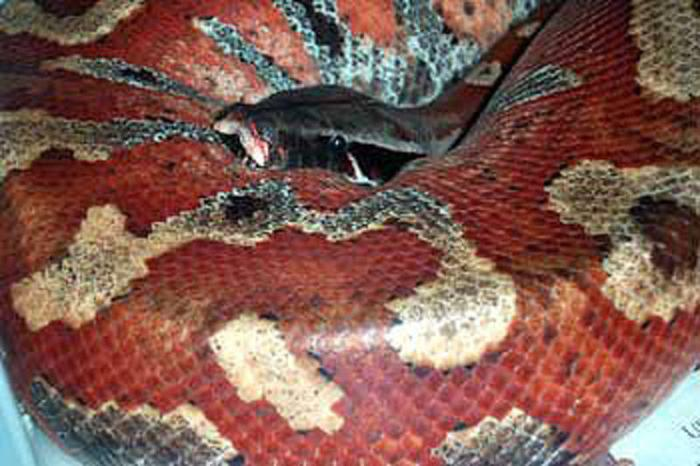 Wanted: Female Blood Pythons
