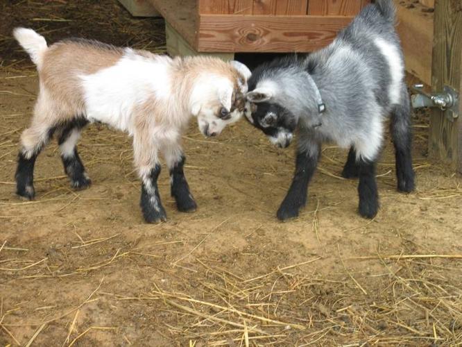 Wanted: I search goat Nigerian Dawrf doe
