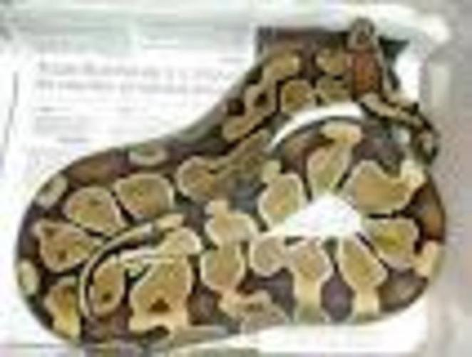 Wanted: * Looking for adult ball python or corn snake *