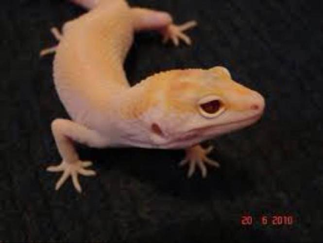 Wanted: Nova leopard Gecko Male