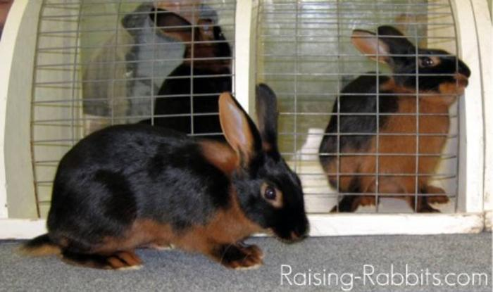 Wanted: Rare Rabbit Breeds