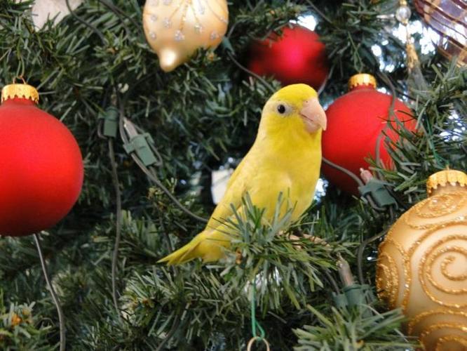 world smallest parrot : Parrotlet