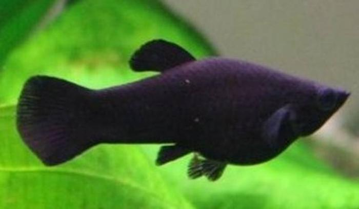 young black and red mollies