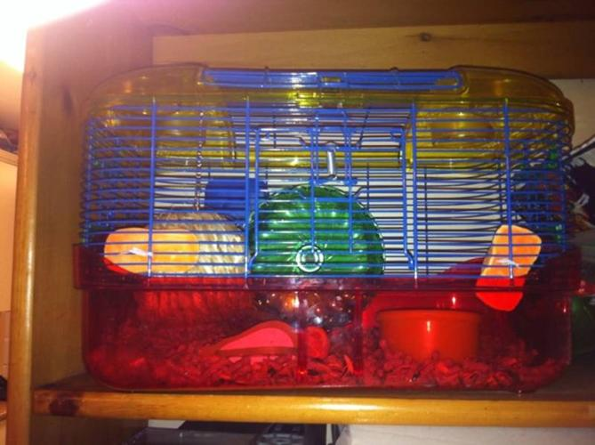 Young hamster for sale