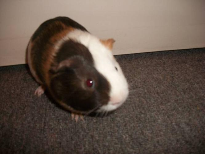 Young Male Guinepig w/ Cage