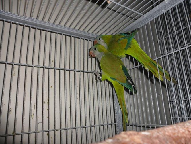 Young Proven Breeding Pair of Quaker Parrots For Sale