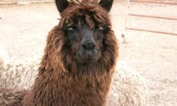 Give your family the ultimate Christmas gift - a healthy, registered Canadian Alpaca!  Teach your kids the labour of love. Alpacas are tranquil, lovable, interesting and curious little creatures that are ideal for hobby farms and small acreages. (5-7