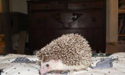 We have a healthy 10 month old hedgehog for sale. He is sweet and cute. He has been well cared for, he eats cat food, and fruits/veggies. He likes to take a bath, so we will include the soap we have for him. He also comes with 2 cages, a play yard, an