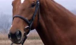 Abbey is a 10 year old, 16 hh chestnut off the track thoroughbred mare. Clips, ties, loads, bathes, stands for vet and farrier and has excellent ground manners. She can get strong under saddle, especially over fences. She is still fairly green as I