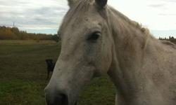 """We are offering for sale our all around """"everyone rides"""" grey mare. Mouse is 10 yrs old, 15'1 hh, approx 900 lbs. She is qh/arab and has a beatiful disposition, always very willing to please and very loving.   Mouse has given tons of people their first"""