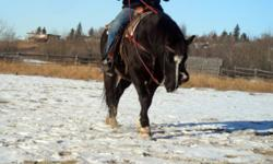 Ardee is a 10 yr old Qh welsh cross gelding, stands 13.3hh. Ardee is broke western, used primarily on trail. Very quiet, good to be around gelding. Though we have not had much time to spend with him, he enjoys attention and has a very sociable