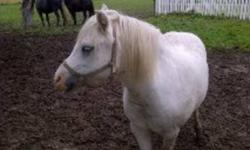 Looking for a winter project? This is your girl!   Sweet tempered registered welsh pony mare. Approx 11 H. Was started by the menonites in harness and has been backed. Being sold as is ( which means that you train her ) for this price $1000.00 firm.