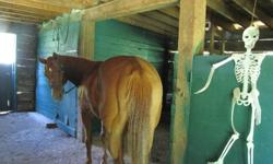 """""""Hemi"""" is well broke, SOUND,very gentle, no cribbing, easy to catch, great with the farrier, trailers,  easy on the eyes.  She is wonderful to ride alone and be alone.  If you ride away from another horse it is great if the other horse rides away from you"""