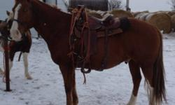 Mel is a 15 hh qh/paint cross. He stands for farrier to be saddled and for you to get on. He moves off your leg. He is a very nice boy who loves attention. He is not what I would consider a kids horse because he likes to go and since he hasnt been getting