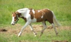 8 year old,12.1hh Pinto Pony Gelding for sale. Great little pony for someone looking for a show prospect. Sound, sensible and VERY handsome... sure to stand out from the herd. Great movement and personality. Good on crossties, trailers, clips good with