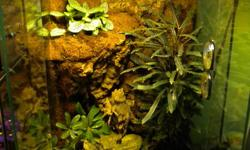 This terrarium is a 12 inch by 18 inch exoterra brand terrarium, and includes a heat pad, exoterra lighting unit, hide, water dish and non-toxic live plants featured on a cork bark background. It is a full set up that has never had a living creature