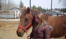 Kix is a 12 year old Morgan Quarter Horse Cross. She stands about 15hh and is a darker dun colour, almost Liver Chestnut-like, but goes much lighter in the winter - like in the photos. She is trained to bit, but I ride her in just a halter. She's been