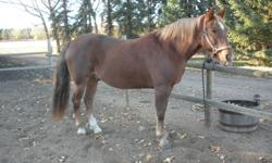 Paddy is UTD on vaccinations, de-worming & farrier.  He loads, clips, trims, baths.  Well trained, turns on the forehand and haunches, sidepasses, leg yields, shoulder in, haunches in, transitions nicely between gaits, nice speed control.  Would make a