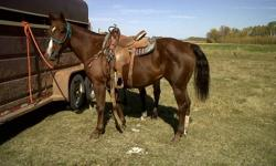 Grade Quarter Horse chestnut mare for sale. 13 years old. Quiet and friendly. Very nicely built...good conformation, well muscled. Sure footed, smooth to ride. Not spooky, no buck. Gamely handles whatever challenges you want to throw her way, without