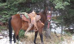 REDUCED IN PRICE...MUST SELL.. Lady is a well broke 13 yr old papered Arabian mare. Neck rains well, loads with no problems, crosses bridges and creeks with no issues,  15 hh , has been rode in the mountains and on trail rides. I just had shoes put on her