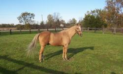 This gorgeous boy stands a solid 15.1h, ties, trailers, baths,etc..road/traffic/trail safe...has worked with cattle, done parades, and done lead line classes with little kids. Not recommended for beginners, but experienced novice and up would do ok with