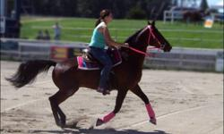 """""""Without Rules"""" is a 14 year old, 15.2 hh, Dark Bay, Standardbred gelding. Sweet, quiet and willing to please. Broke to ride and drive. Although previously raced, he is completely sound and has no vices. Clips, bathes, stands for the farrier and is well"""